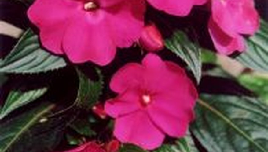 Impatiens in a Planter