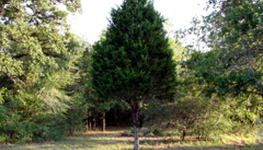 Perfectly shaped eastern red cedar