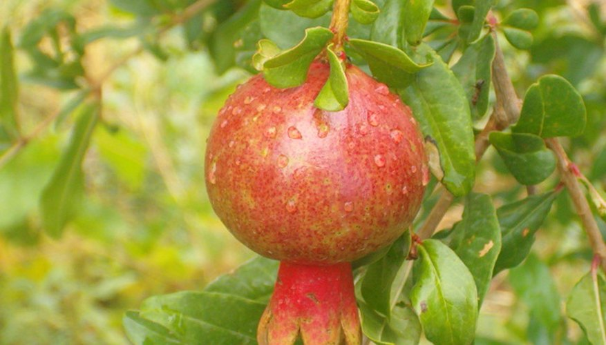 Pomegranate fruit and foliage.