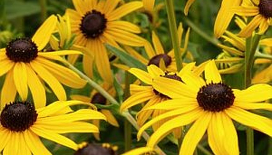Black-eyed susans growing abundantly.
