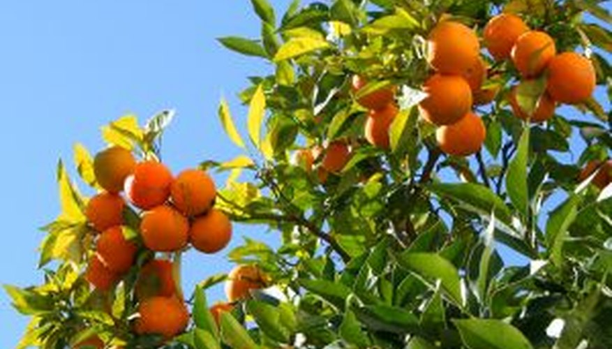 Healthy orange trees equal tasty oranges.