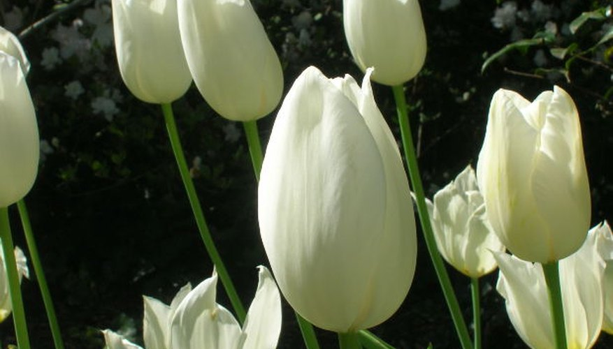 Meaning Of A White Tulip Garden Guides