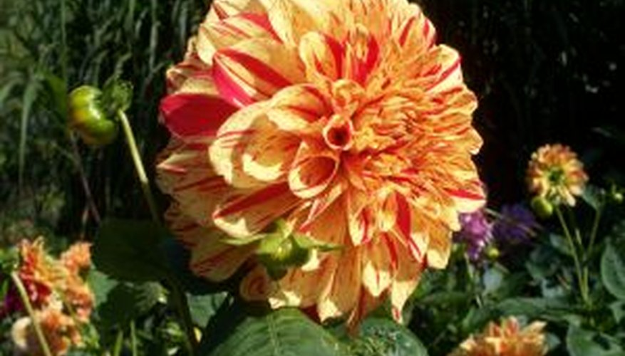 Dahlia in full bloom.