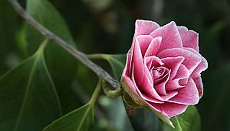 A beautiful camellia flower blooming in a flowerbed