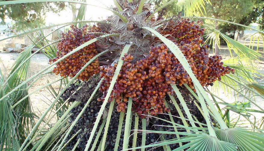 Date palm with mature fruit