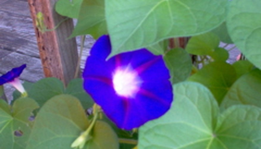 Morning glories covering a deck railing