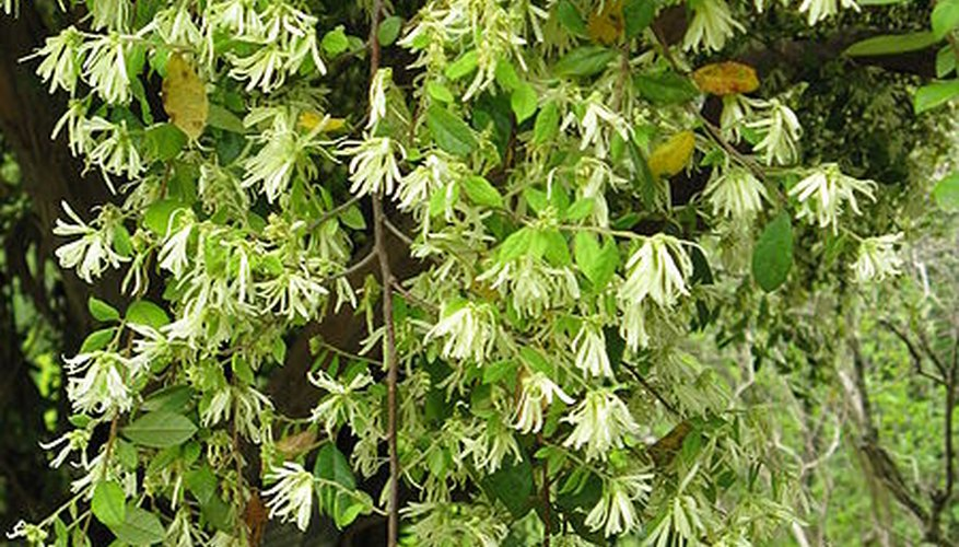 Loropetalum chinensis features profuse blooms.