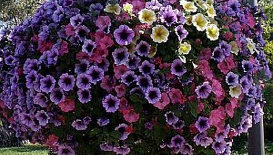 Provide proper care for hanging petunia baskets to keep them beautiful all summer.