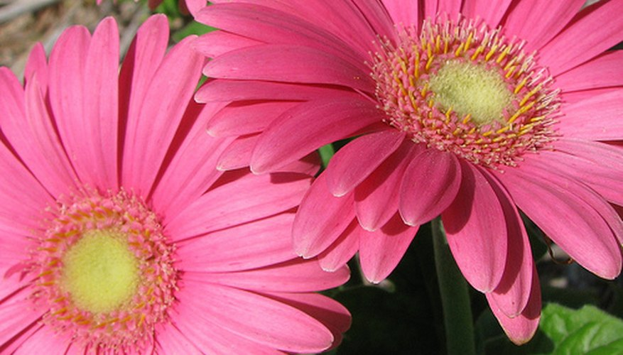 Gerbera daisies can last two to three years.