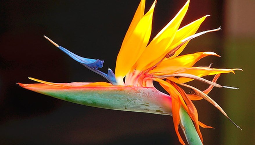 Bird of paradise resembles a bird's head.