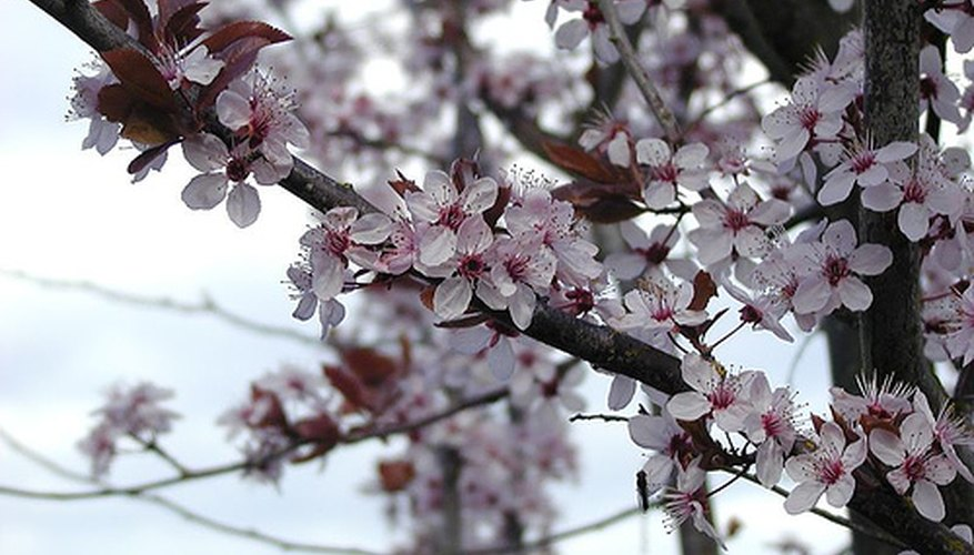 Flowering plum in bloom.