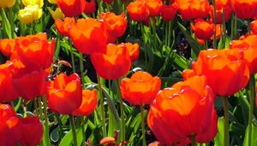 Simplify large tulip plantings with the proper tool.