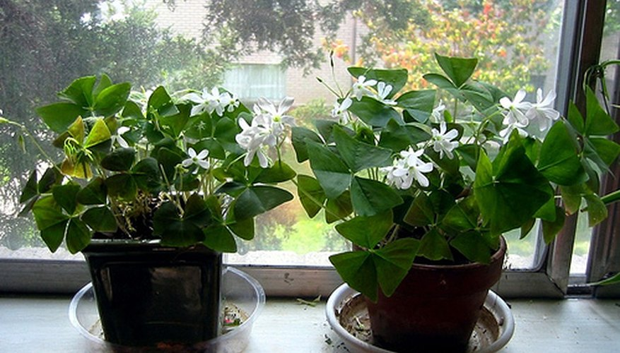 Shamrock plants bloom indoors during winter.