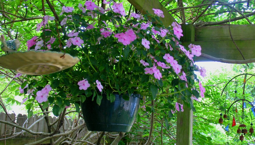 Impatiens are perfect for a hanging basket.