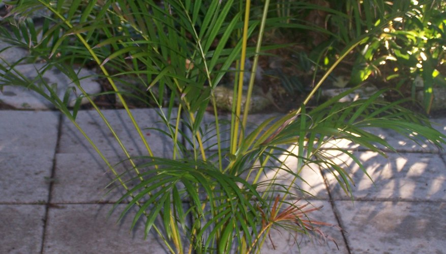 Areca Palm growing outdoors.