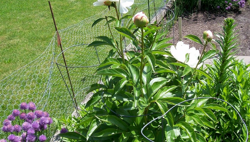 Peonies can be easily divided after five years or more of growth.
