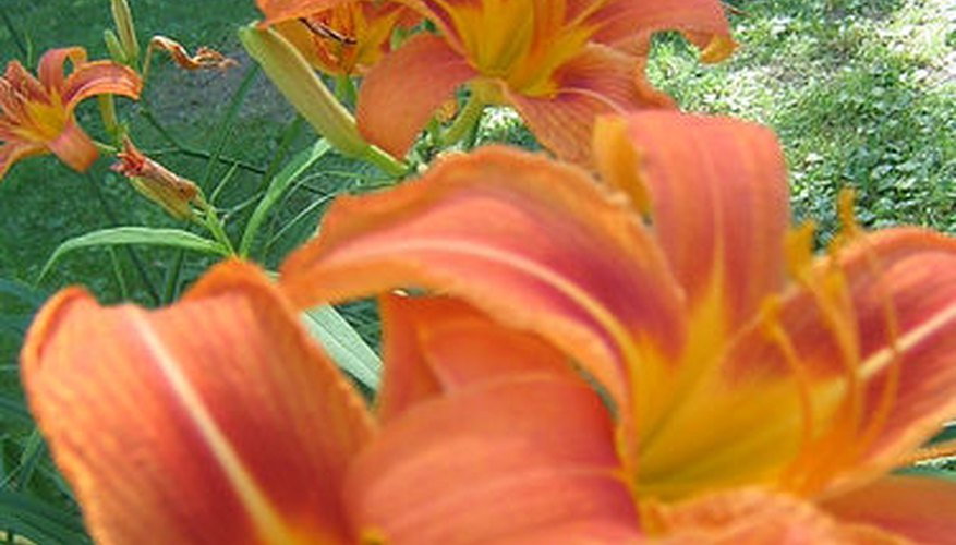Asiatic lilies begin the summer parade of blooms.