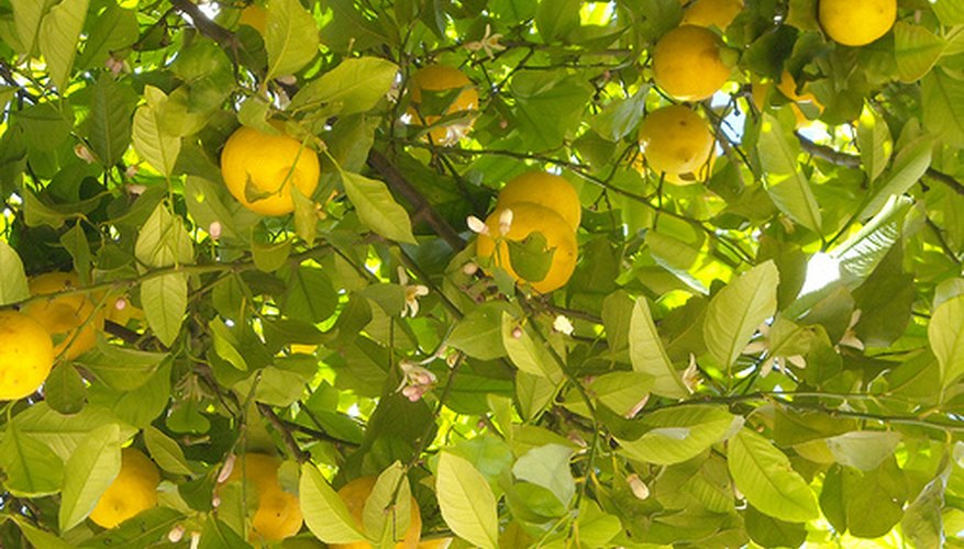 Prune your lemon tree correctly.