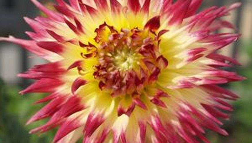 Dahlias come in many striking varieties.