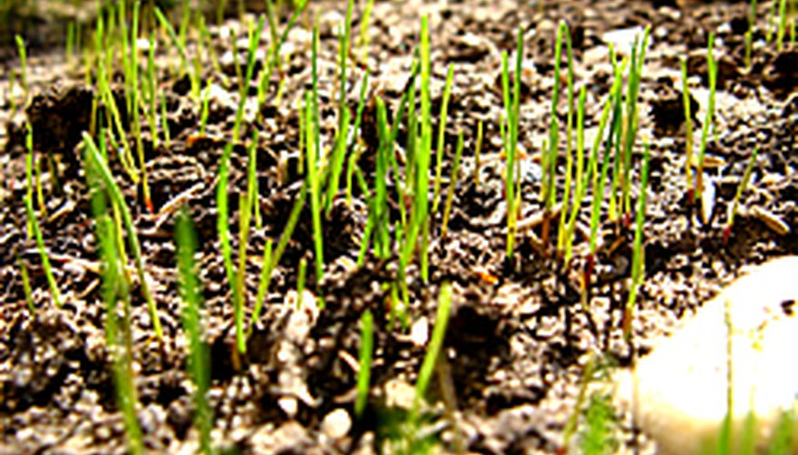 New grass sprouts emerging from seed.