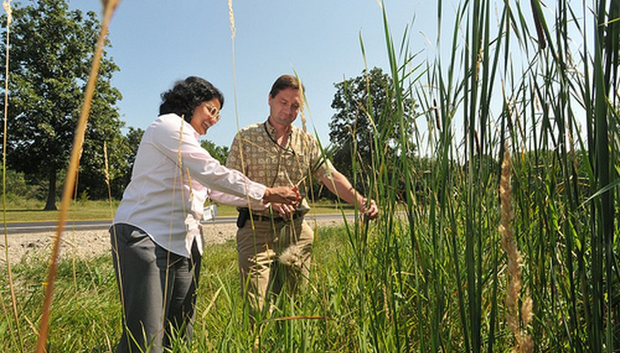 Switchgrass is being studied as a potential ethanol fuel source.
