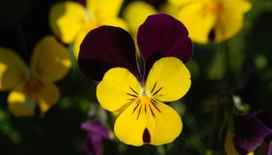 Johnny Jump Ups are recognizable by their distinctive yellow and purple flowers.