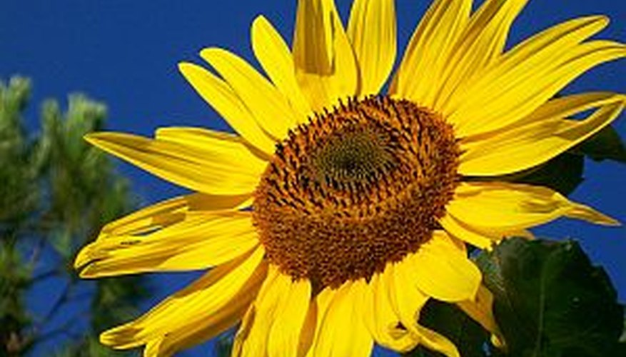 Plant sunflower seeds indoors for a head start to the growing season.