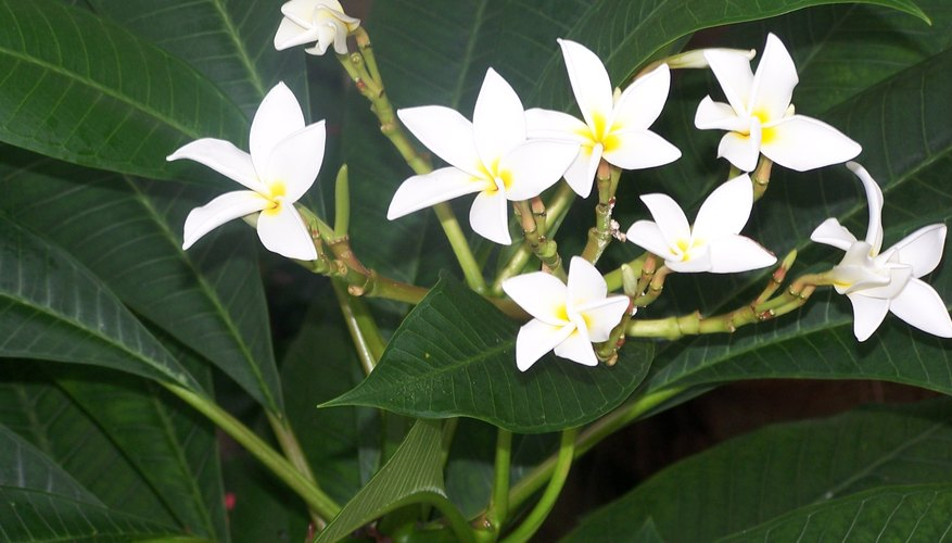 Tropical plumeria blooms.