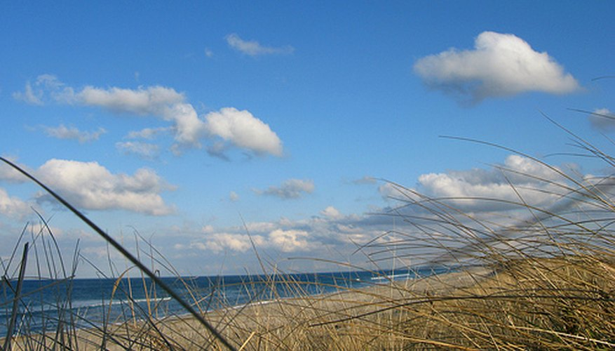 Beachgrass can help keep sand dunes stabilized.