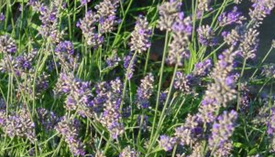 Lavender is prized for the aromatic oil it produces.