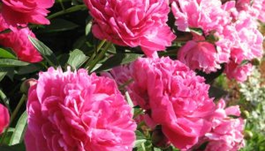 Peonies bloom each spring with flowers that resemble roses.