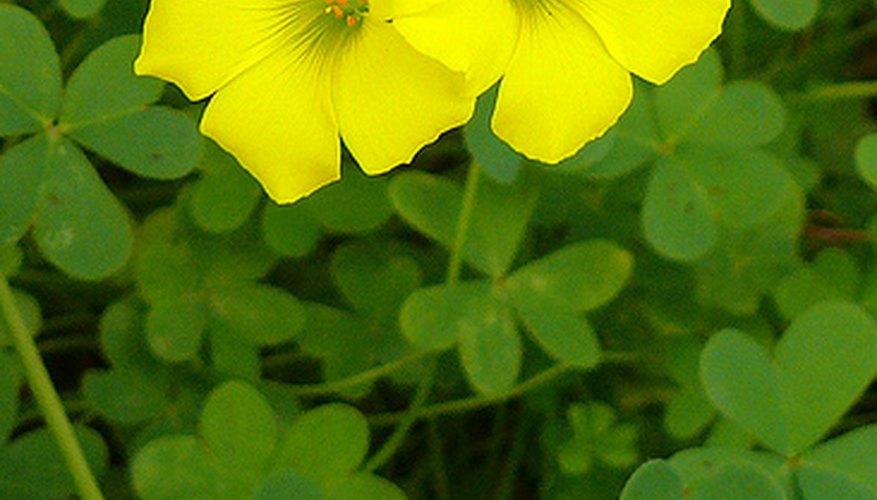 Oxalis is also known as shamrock plant.