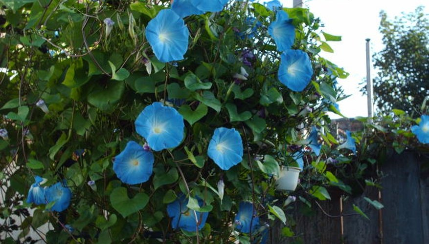 Morning glories can add beauty to any space.