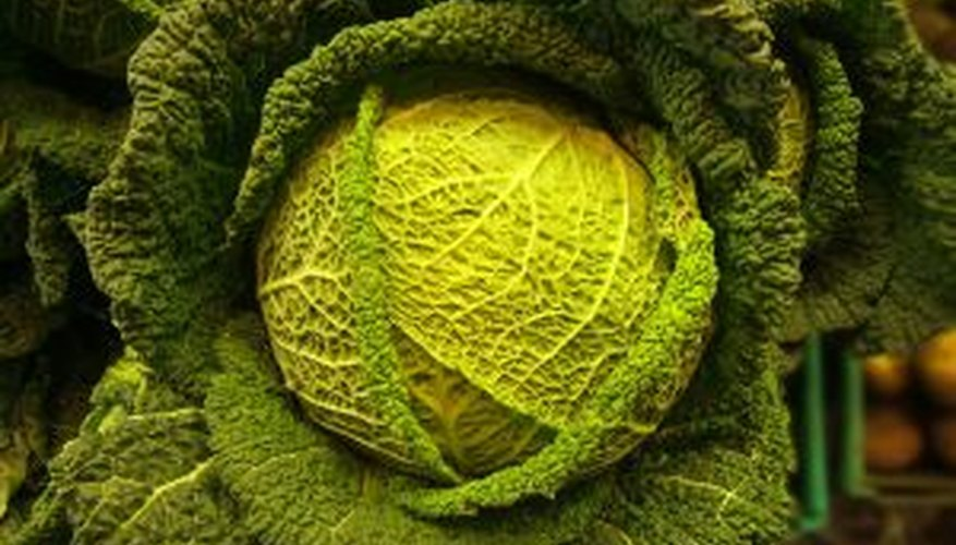 Green cabbage is the most popular variety of cabbage.