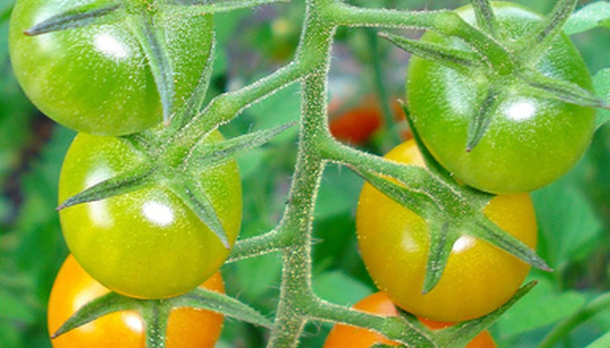 You can save money by saving tomato seeds for your next crop.
