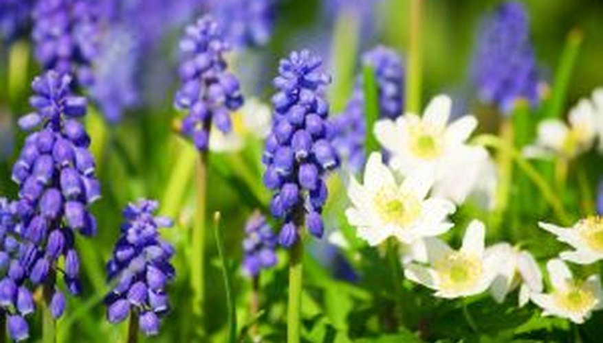 Grape hyacinth and wood anemone welcome spring.