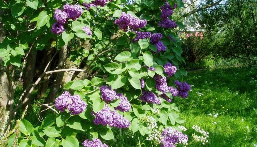 Caring for your lilac will have a beautiful reward.