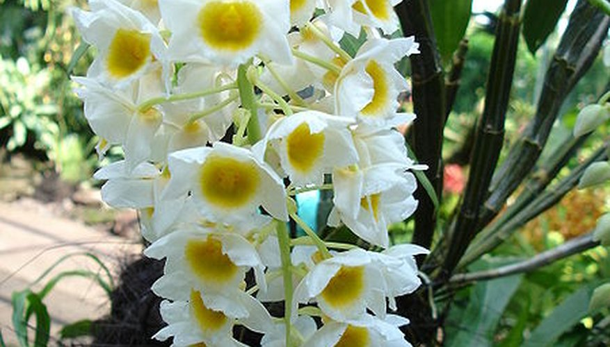 Dendrobium 'farmeri' orchid in full bloom.