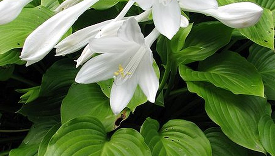 Hosta lily (Plantaginea) in bloom.