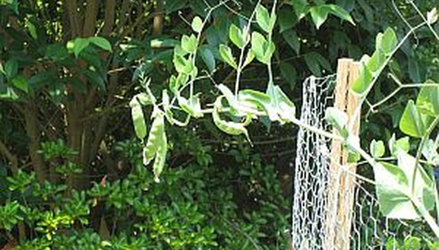 Plant pea seeds in early spring and watch them climb a fence or trellis.