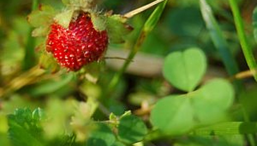 Winterize strawberry plants carefully to protect them from cold.