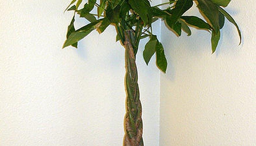 A Potted Pachira Aquatica Braided Money Tree