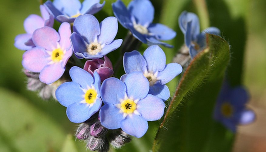 How To Care For Forget Me Not Flowers Garden Guides