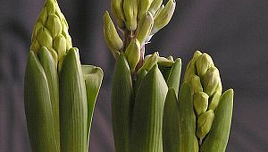 Hyacinth bulbs growing indoors