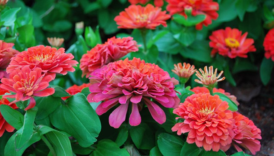 Zinnias are very easy to grow.