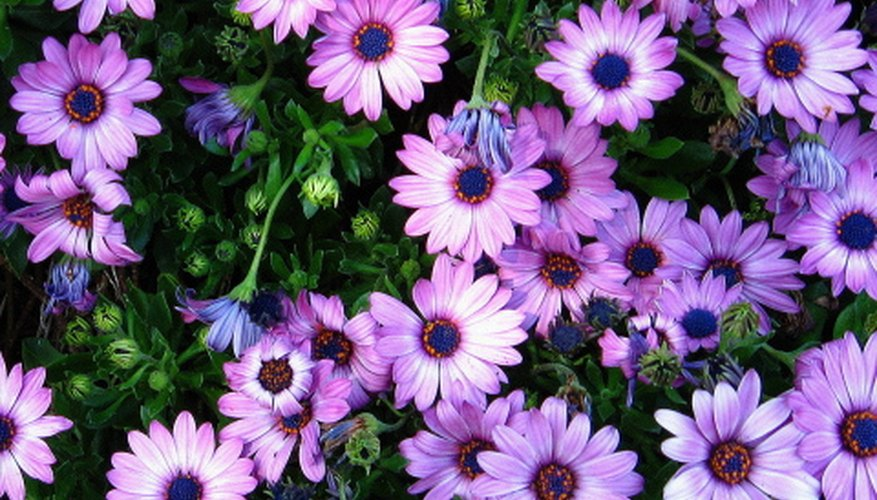 African daisy flowers close at night.