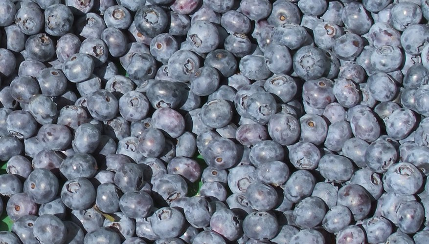 Northern highbush blueberries