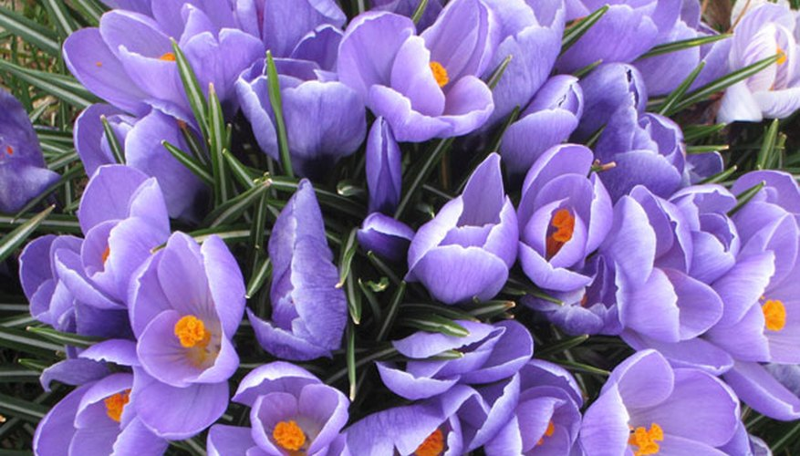 Purple Crocuses