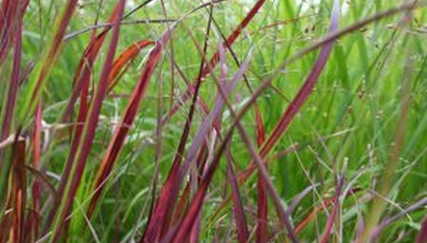 The red color of Japanese blood grass can spice up any garden.