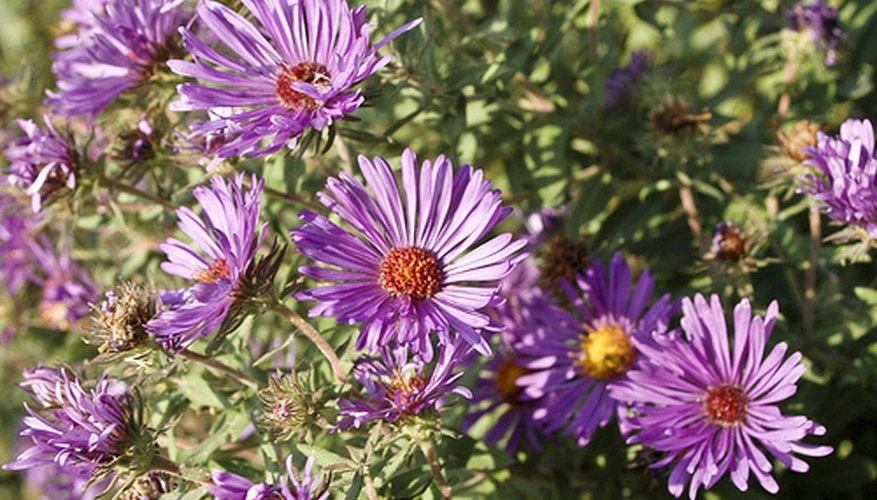 Asters bloom in early fall.